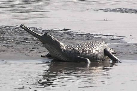 Indian Magar Crocodile