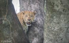 Leopard photographed at Mombo, Chief's Island, Okavango Delta, Botswana