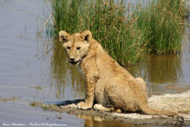 Lion cub at waterhole in Serengeti NP, Tanzania