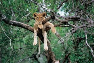 Lion cub on tree - South Luangwa NP, Zambia