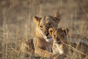 Lion cubs have to fight hard for survival in this harsh environment