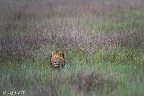 Lion photographed at Mombo, Chief's Island, Okavango Delta, Botswana