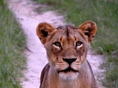 Lioness-looking-at-us-She's-only-a-few-feet-from-us
