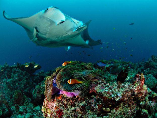 manta-ray-underwater-maldives_22664_990x742