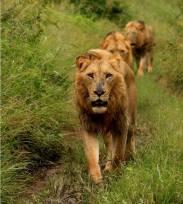 Manyelethi male lions - Mala Mala GR, South Africa