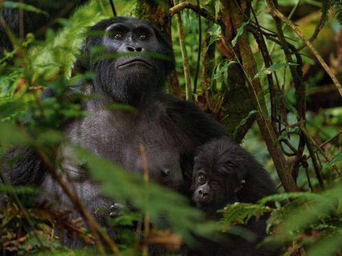 mountain-gorillas-africa-sartore