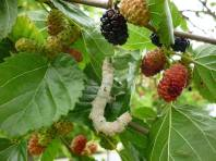 Mulberry Leaves & Fruit.