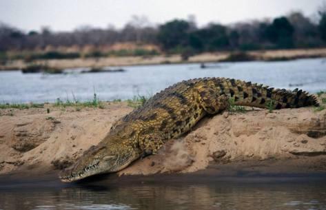 Nile crocodile on the bank of Rufiji River in Selous GR, Tanzania