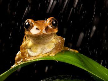 peacock-tree-frog-rain_48278_990x742