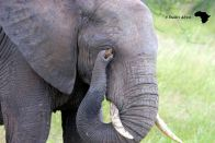 Pic showing the absolute intelligence of Elephants - this Ellie picked up a stone to scratch his eye.