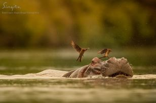 Red-billed oxpeckers take off as the hippo descends into deeper water.