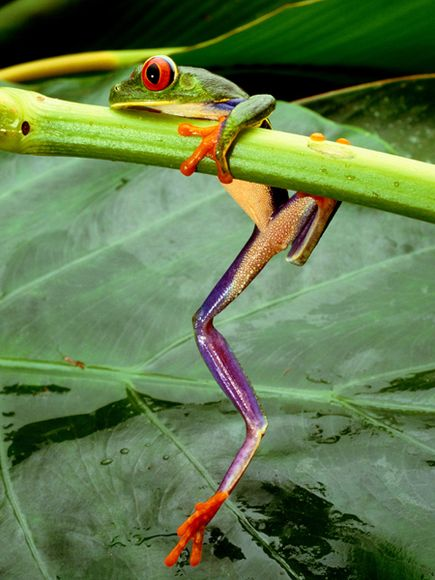 red-eyed-tree-frog_26498_600x450
