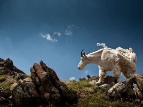 rocky-mountain-goat_54820_990x742