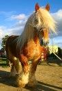 Semental Bretón (breton stallion)