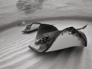 stingrays-grand-cayman_62683_990x742