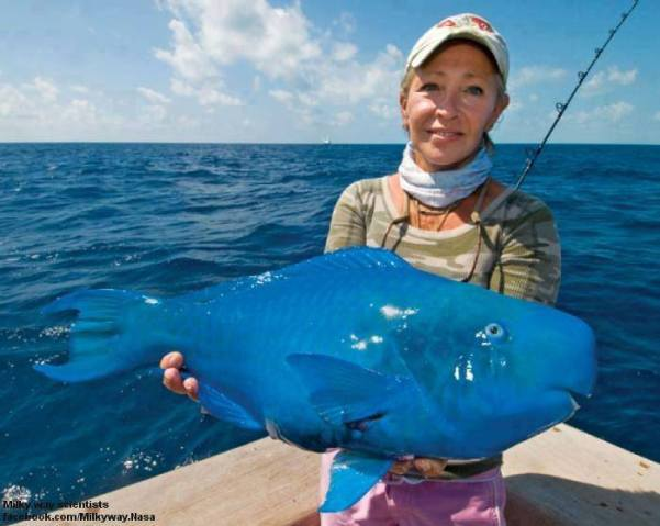 The Blue Parrotfish (Scarus coeruleus) is a member of the parrot fish genus Scarus. Can grow to up to 120 cm. Western Atlantic, Brazil, Bahamas, Bermuda and the West Indies.