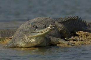 The gharial, also known as the gavial, and the fish-eating crocodile, is a crocodilian of the family Gavialidae, native to the Indian Subcontinent