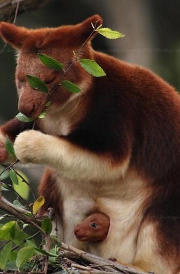 Tree kangaroo joey