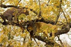 Who says Lions don't climb trees