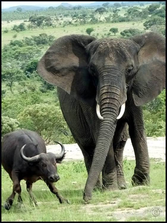 Wobbly Buff just got a SLAP from Nzou's Trunk!!
