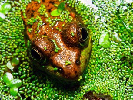 wood-frog-swamp_22933_990x742