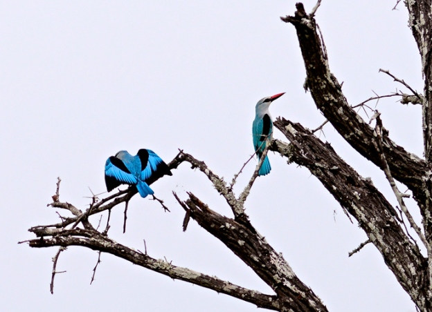 025a-Woodland-Kingfisher-Pair