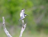 027-Pied-Kingfisher