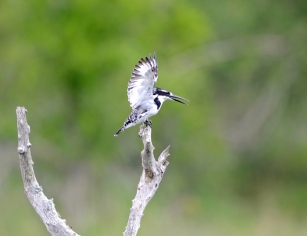 027-Pied-Kingfisher