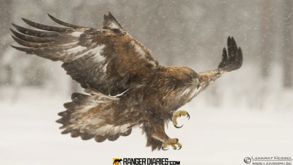 12.-golden-eagle-in a storm