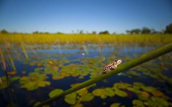 2 - Tiny, colourful reed frogs adorn the grasses and reeds that line the waterways of the Okavango Delta, hinting to the health of this vast wetland ecosystem