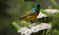 21.-orange-breasted-sunbird-kyle-596x360