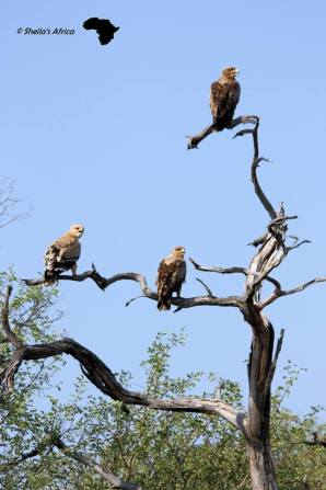 3 Tawny Eagles