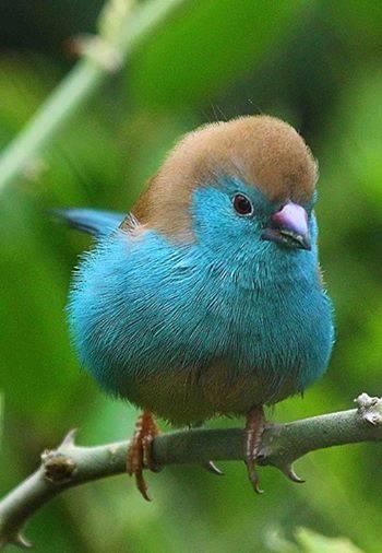 A blue waxbill