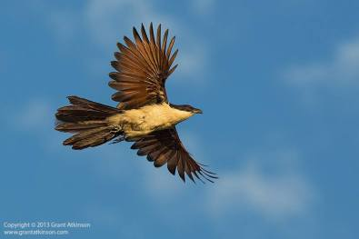 A coppery-tailed coucal in flight.