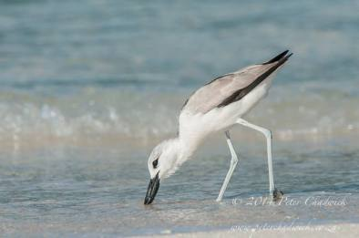A Crab Plover