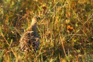 A double-banded sandgrouse.