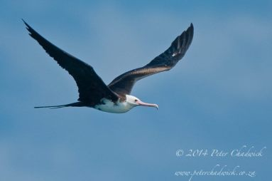 A female Greater Frigate Bird