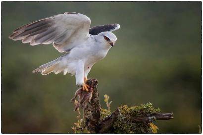 A great behavioural photo showing a Black-Shouldered Kite with prey, taken and submitted to our timeline by Pikkie Langenhoven.