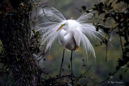 A great white egret in breeding plumage