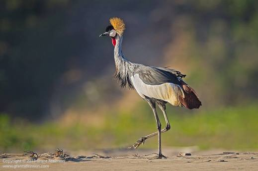 A grey crowned crane