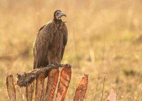 A Hooded Vulture on a carcass in Botswana. Photo by Jaco Marx.