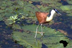 A little Jacana