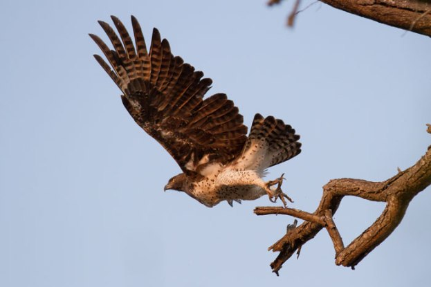 A Martial Eagle takes off in the early morning light. Huge birds, they can take prey up to the size of small antelope.