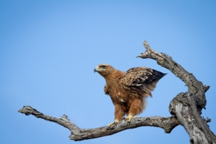 A poised Tawny Eagle just before flight