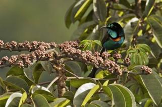 A Splendid Astrapia (Astrapia splendidissima) male