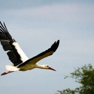 A white stork. Photographed by James Hobson.