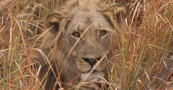 Africa-Secluded-Botswana-10-lion