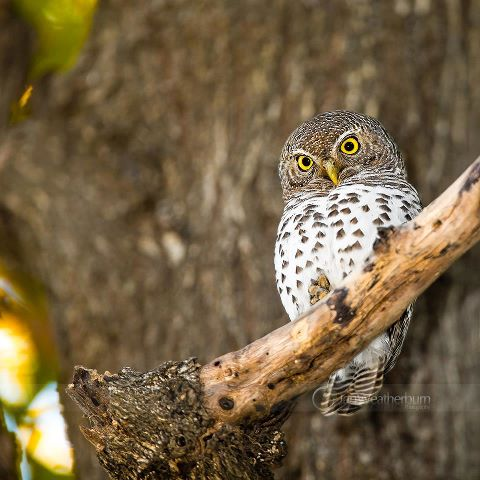 African Barred Owlet - Copyright © by Ian Weatherburn Photography