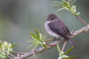 African Dusky Flycatcher at Kirstenbosch