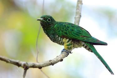 African Emerald Cuckoo - Chrysococcyx cupreus © by Tadeusz Rosiński